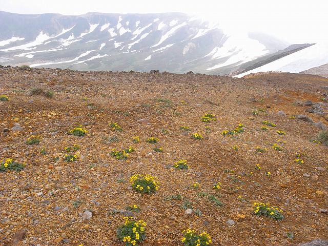 7月8日、北鎮岳から中岳温泉周辺で見た花等_f0138096_12494933.jpg