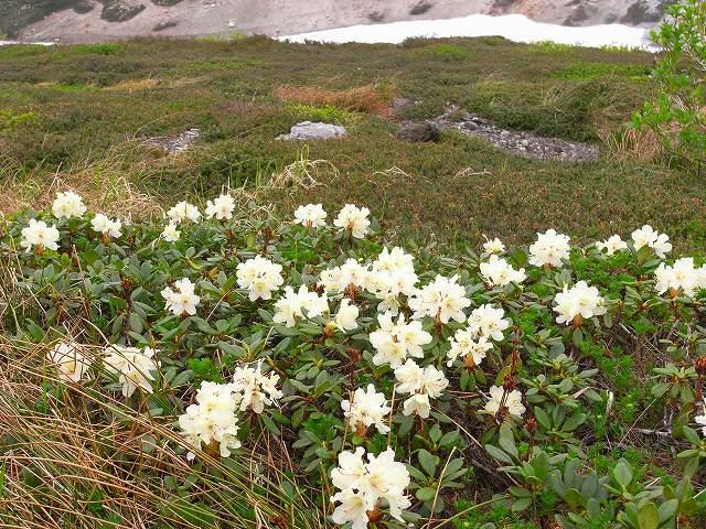 7月8日、北鎮岳から中岳温泉周辺で見た花等_f0138096_12502683.jpg