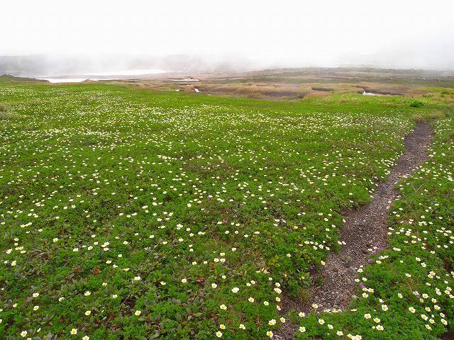 7月8日、旭岳裾合平周辺の花など_f0138096_13241683.jpg