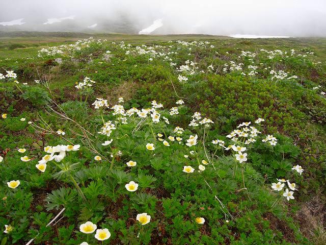 7月8日、旭岳裾合平周辺の花など_f0138096_13242694.jpg