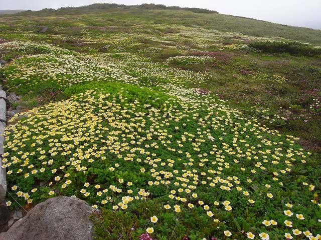 7月8日、旭岳裾合平周辺の花など_f0138096_13244864.jpg
