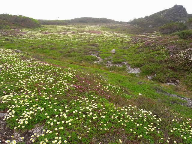 7月8日、旭岳裾合平周辺の花など_f0138096_13245939.jpg