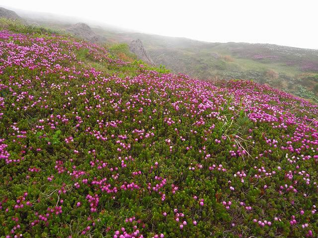 7月8日、旭岳裾合平周辺の花など_f0138096_15261596.jpg
