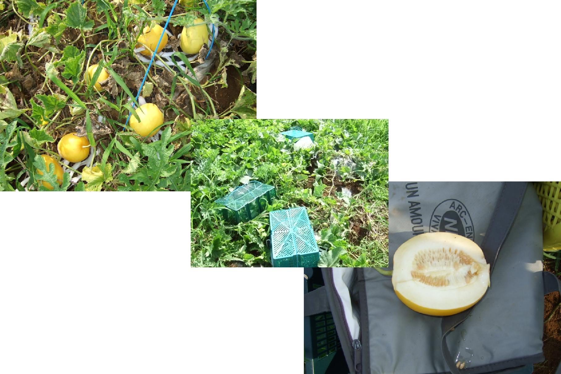 とうもろこし&スイカを無事に収穫したい!_b0137932_19495160.jpg