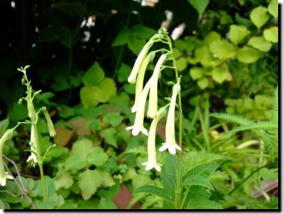 ロイヤルシャワーの花