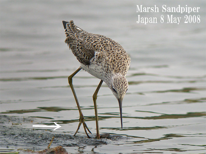 コアオアアシシギ3 Marsh Sndpiper /  Tringa stagnatilis_c0071489_13143510.jpg