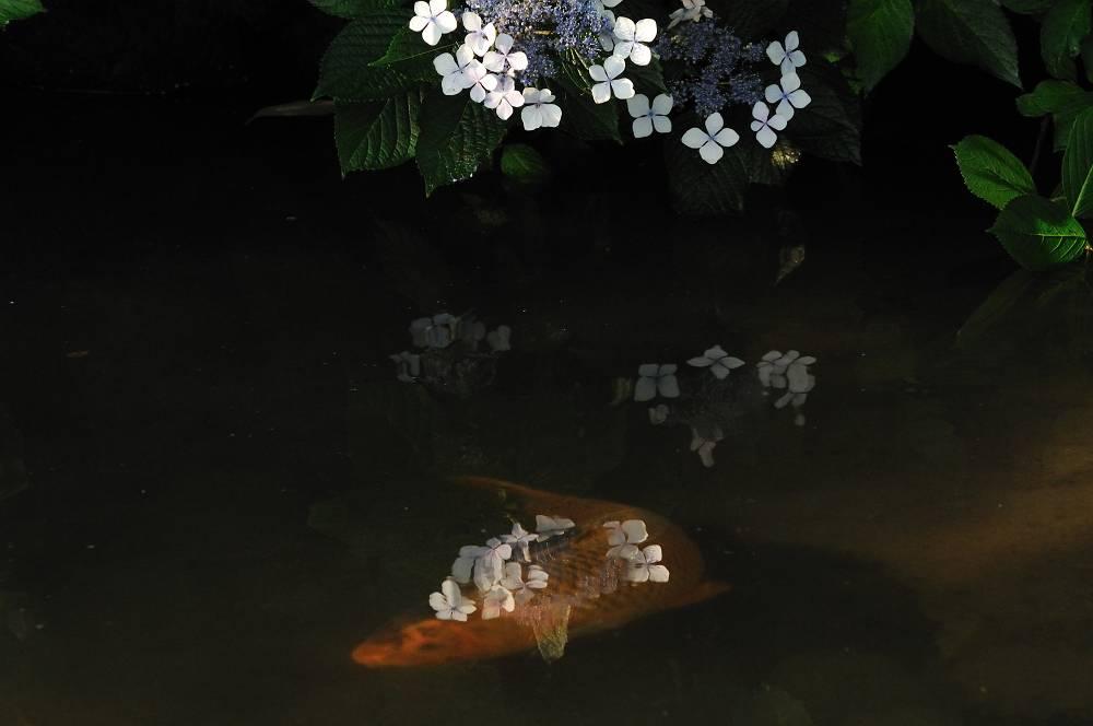 紫陽花と鯉-2_b0074098_2273038.jpg