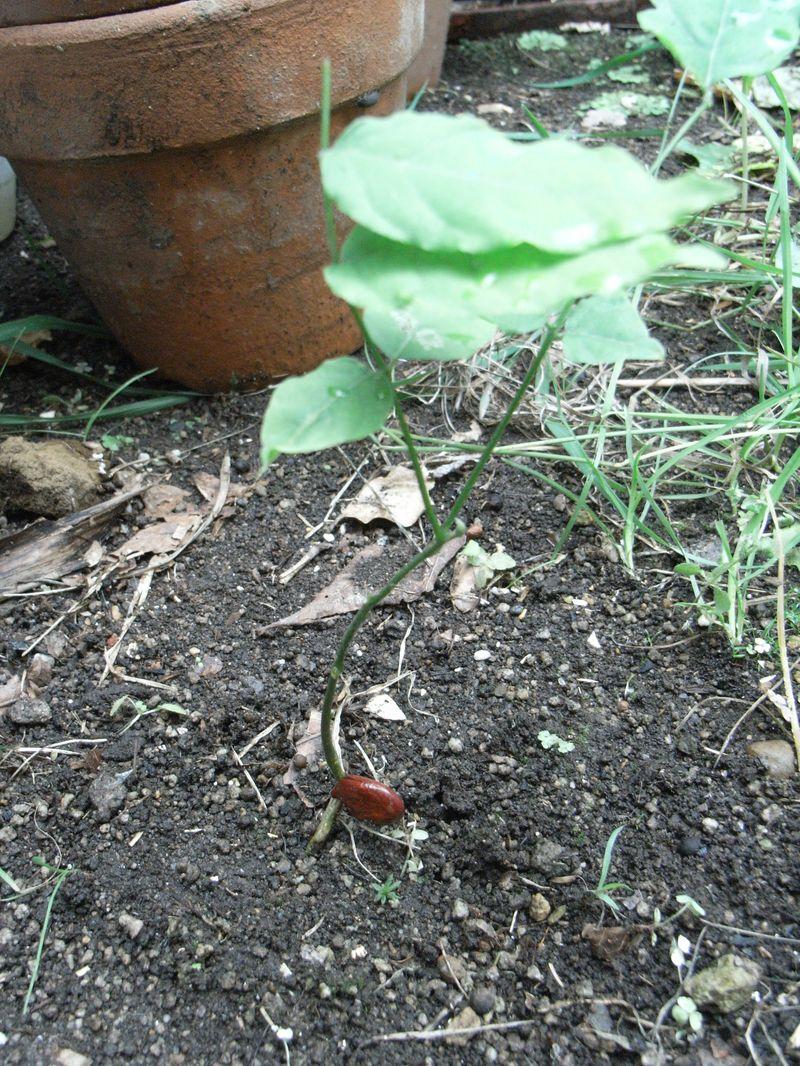 フサスグリ、フジのこぼれ種、ラベンダー_c0025115_15201453.jpg