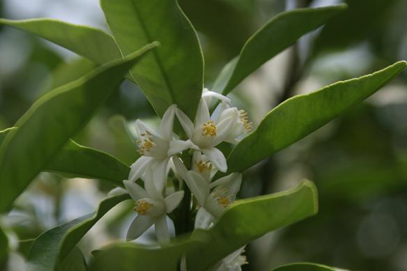 金柑の花と蜂_d0150720_1535287.jpg