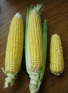 トウモロコシ収穫~~!!!_e0097534_11473528.jpg