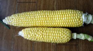 トウモロコシ収穫~~!!!_e0097534_11475640.jpg