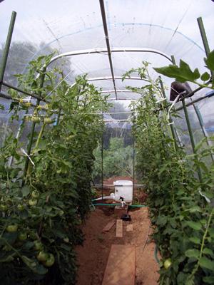 雨除けドーム内のトマト_c0063348_8501516.jpg