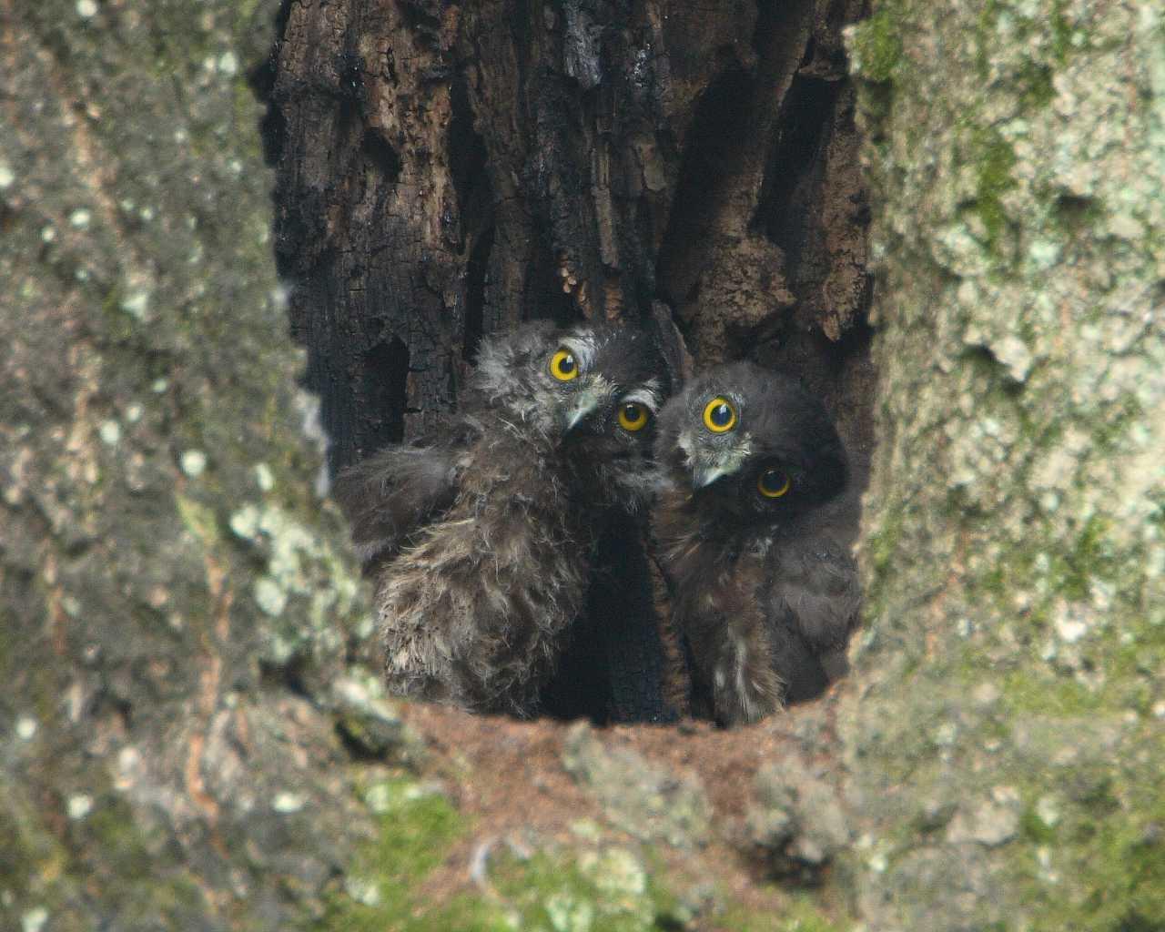 アオバズク兄弟(野鳥の雛の可愛い壁紙)_f0105570_1474680.jpg