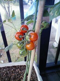 リョウ vs トマト vs お母さん_f0124006_203418.jpg