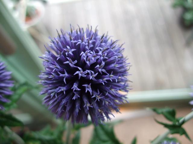 オークリーフ(利休草の花)_f0049672_1603935.jpg