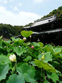 三室戸寺の蓮と 蓮花の名前のヒミツ_c0053520_19251766.jpg