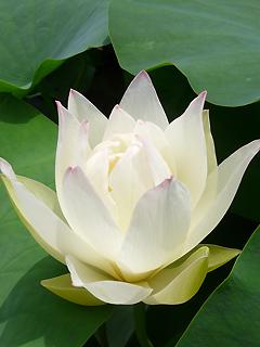 三室戸寺の蓮と 蓮花の名前のヒミツ_c0053520_19552838.jpg