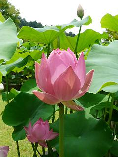 三室戸寺の蓮と 蓮花の名前のヒミツ_c0053520_20575224.jpg