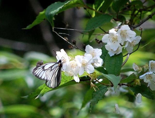 やっと撮影できた高山蝶・・・「ミヤマシロチョウ」_d0019074_7441100.jpg