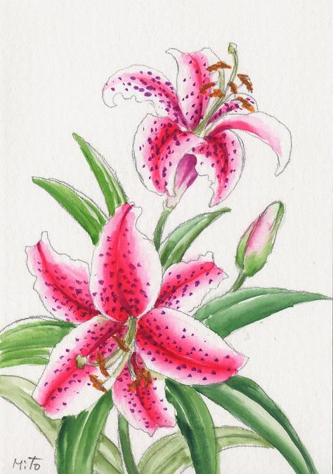 ピンク百合の絵~水彩画~_b0089338_1927728.jpg