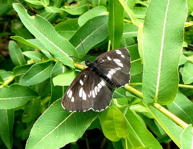 「フタスジチョウ」 ssp.insularum_d0019074_932265.jpg