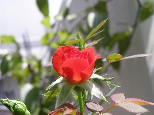 夏によく咲くという_d0147812_13121411.jpg