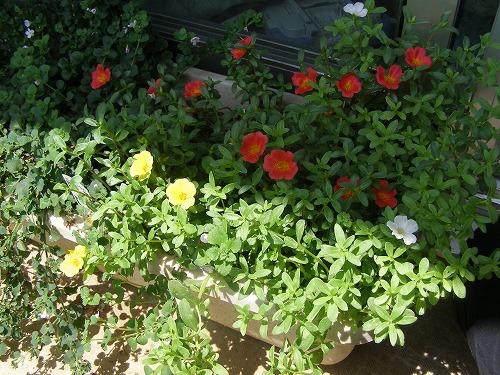 夏によく咲くという_d0147812_1372656.jpg