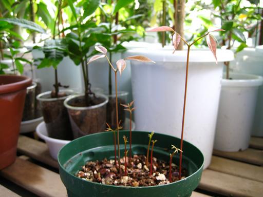 ライチ, germination of lychee