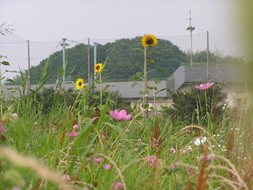 向日葵と秋桜_d0147812_75024.jpg