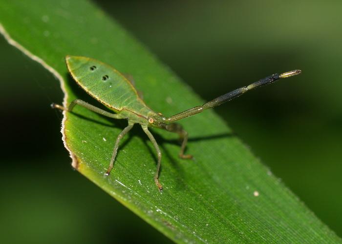 オオクモヘリカメムシの幼虫?_c0116915_17431615.jpg