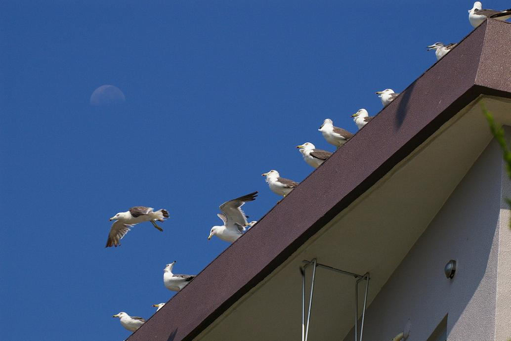 屋根の上の カモメ No.4_d0039021_18385626.jpg