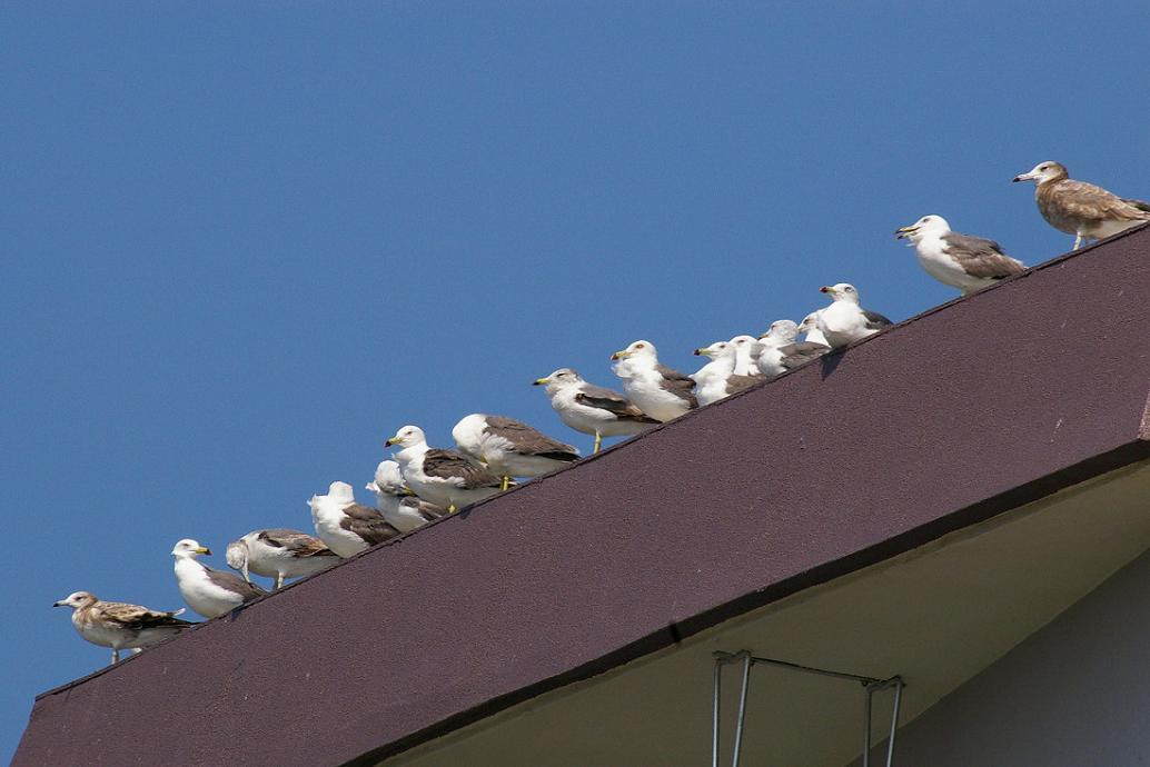 屋根の上の カモメ No.4_d0039021_1839568.jpg