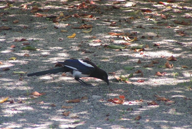 カササギは佐賀の県鳥・6_c0065260_22543863.jpg