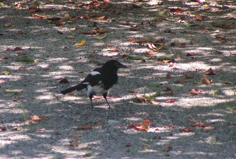 カササギは佐賀の県鳥・6_c0065260_2254529.jpg