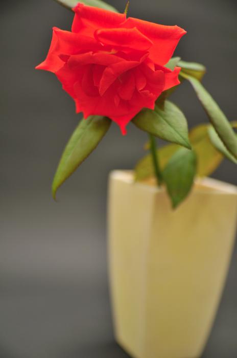 バラ ブラックティー 赤色