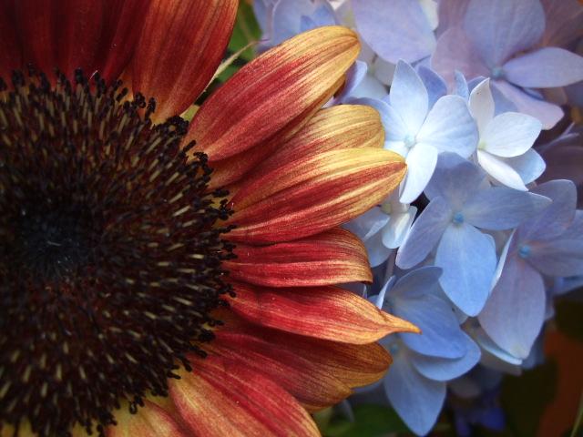 オークリーフ(茶色の向日葵と水色の紫陽花の花束)_f0049672_13445571.jpg