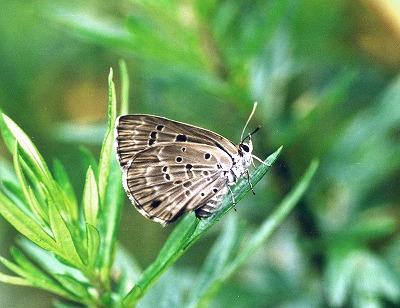 翅形で判る雄と雌・・・「クロシジミ」_d0019074_14481850.jpg