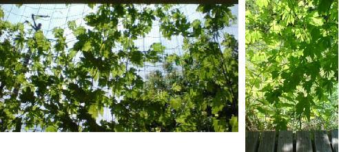 5月にはじめた、緑のカーテンがかなり成長 その6_e0097895_21111598.jpg