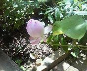 蓮の花_b0011075_13592675.jpg