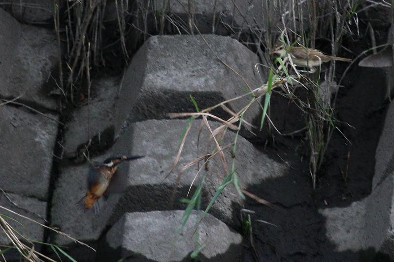 オオヨシキリ&カワセミ_b0024798_4384437.jpg