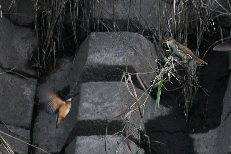 オオヨシキリ&カワセミ_b0024798_4392066.jpg