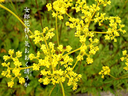 女郎花_e0099713_2114651.jpg