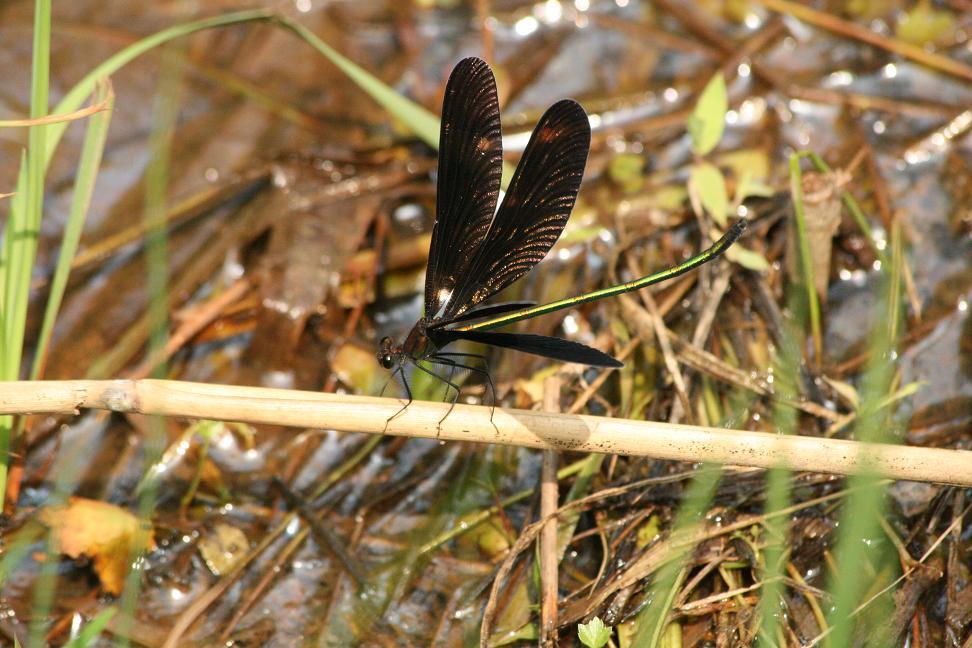 コミカルな羽の動き   ハグロトンボ   _a0107574_658243.jpg