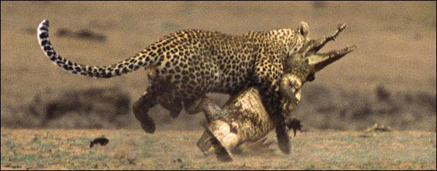 ★ヒョウ VS ワニ 南アフリカで撮られた一連の驚くべき写真_a0028694_1157233.jpg