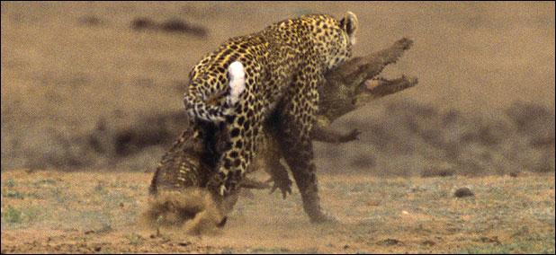 ★ヒョウ VS ワニ 南アフリカで撮られた一連の驚くべき写真_a0028694_11575177.jpg