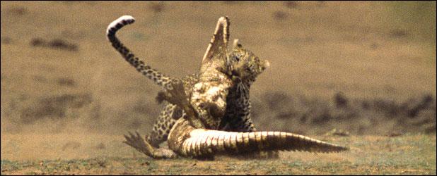 ★ヒョウ VS ワニ 南アフリカで撮られた一連の驚くべき写真_a0028694_1159526.jpg