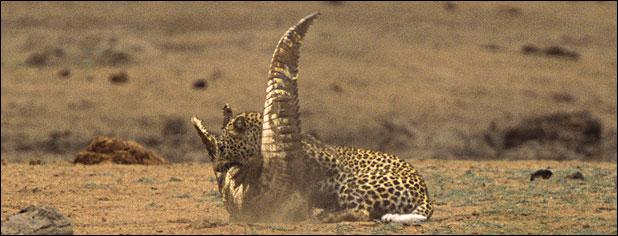 ★ヒョウ VS ワニ 南アフリカで撮られた一連の驚くべき写真_a0028694_11595377.jpg