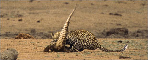 ★ヒョウ VS ワニ 南アフリカで撮られた一連の驚くべき写真_a0028694_1204287.jpg