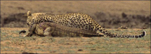 ★ヒョウ VS ワニ 南アフリカで撮られた一連の驚くべき写真_a0028694_1213352.jpg