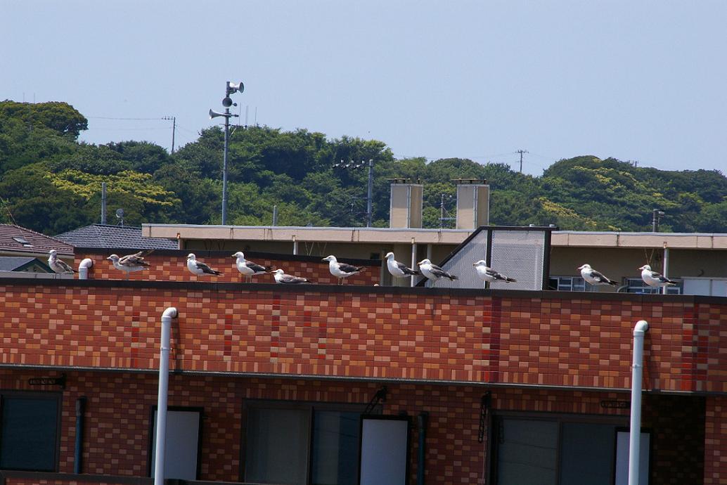 屋根の上の カモメ No.5_d0039021_18264482.jpg